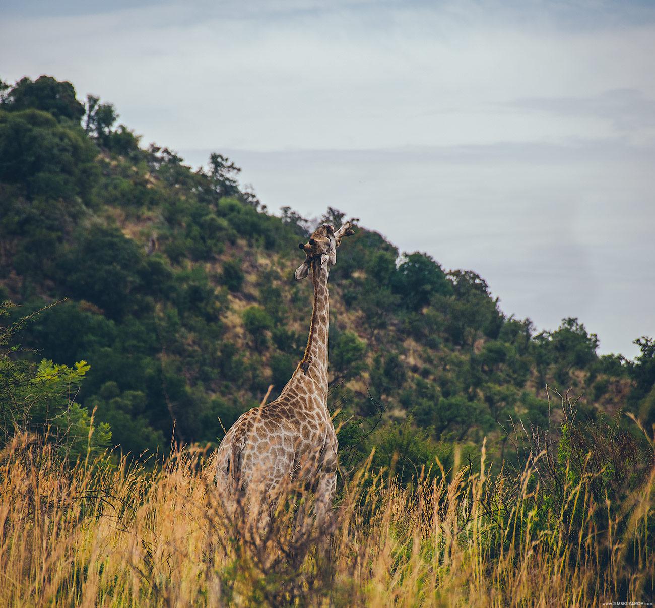 pilanesberg_giraffes_004