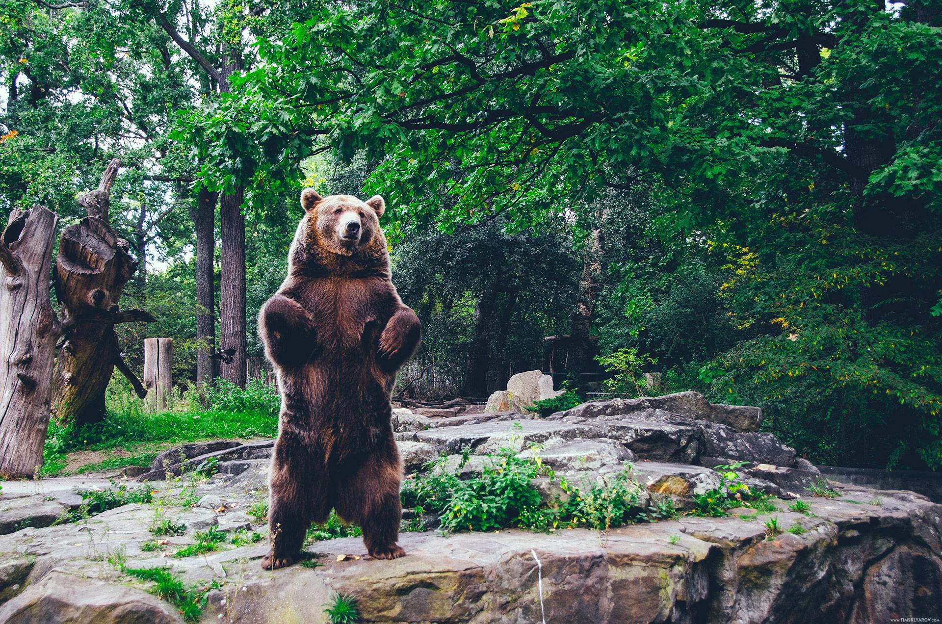 Бурая медведица Синди чувствует себя в неволе весьма неплохо. С удовольствием позировала перед зрителями.