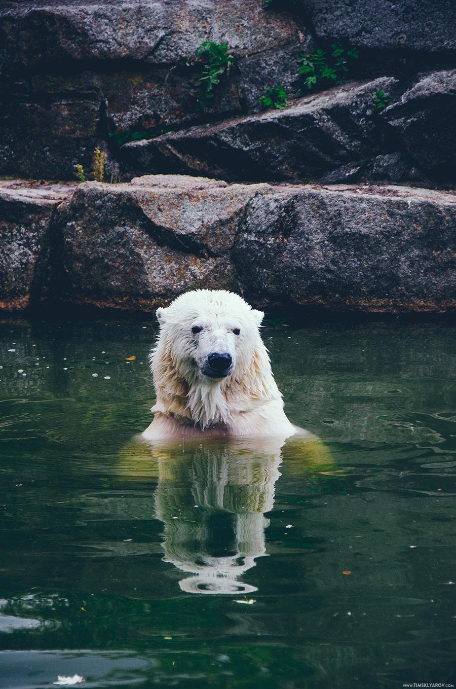 Умки тоже в наличии. Серьезный хищник. В этом вольере когда жил всемирно известный медвежонок Кнут.
