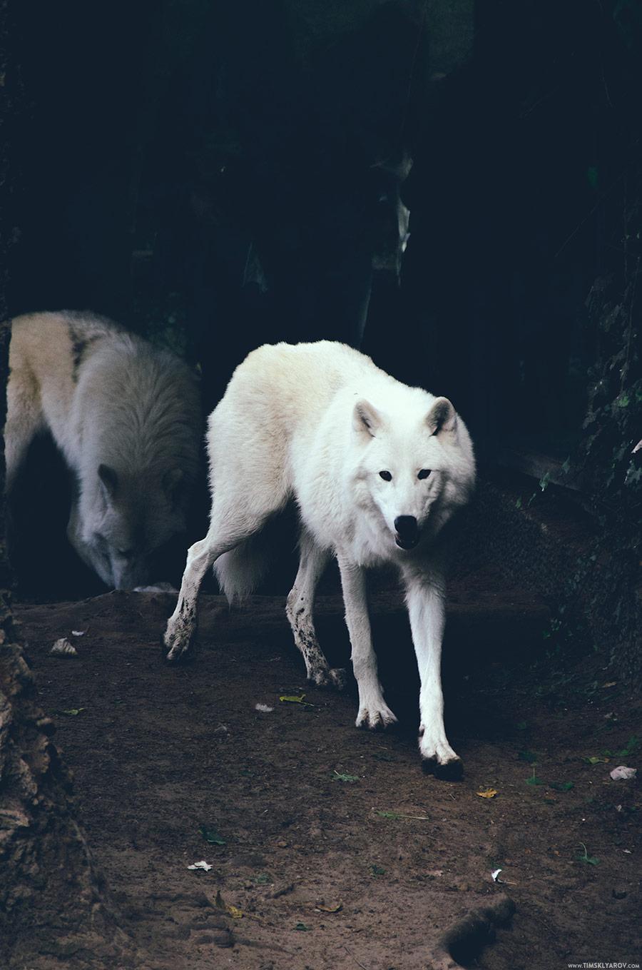 Северо-американский волк. Такого мы видели этим летом, во время нашего путешествия по Колорадо.