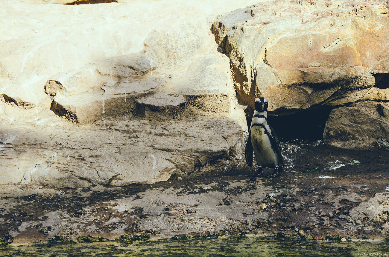 А из птиц единственно кто представляет интерес – это быковатые пингвины.